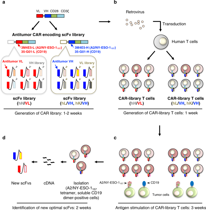 A Single Chain Antibody Generation System Yielding Car T Cells With Superior Antitumor Function Communications Biology