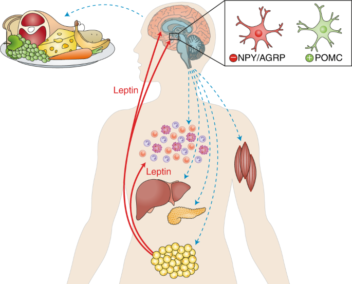 Leptin and the endocrine control of energy balance