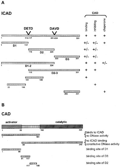 Caspase-dependent cleavage of nucleic acids | Cell Death