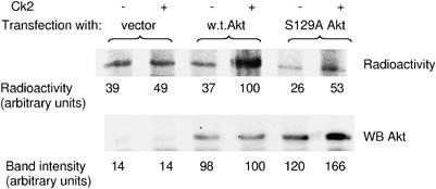 Protein kinase CK2 phosphorylates and upregulates Akt/PKB | Cell
