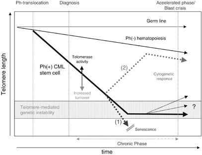 Telomere length dynamics in normal hematopoiesis and in