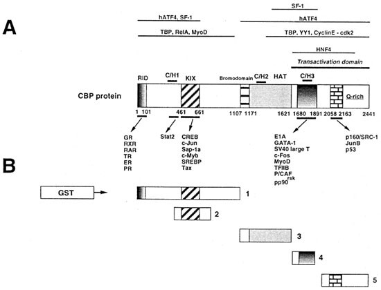 CBP and histone deacetylase inhibition enhance the