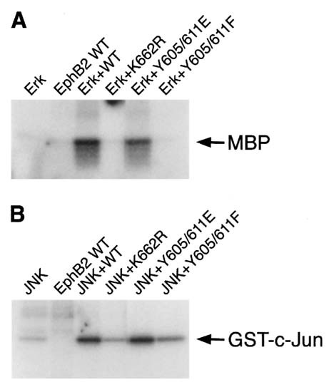 Replacing two conserved tyrosines of the EphB2 receptor with