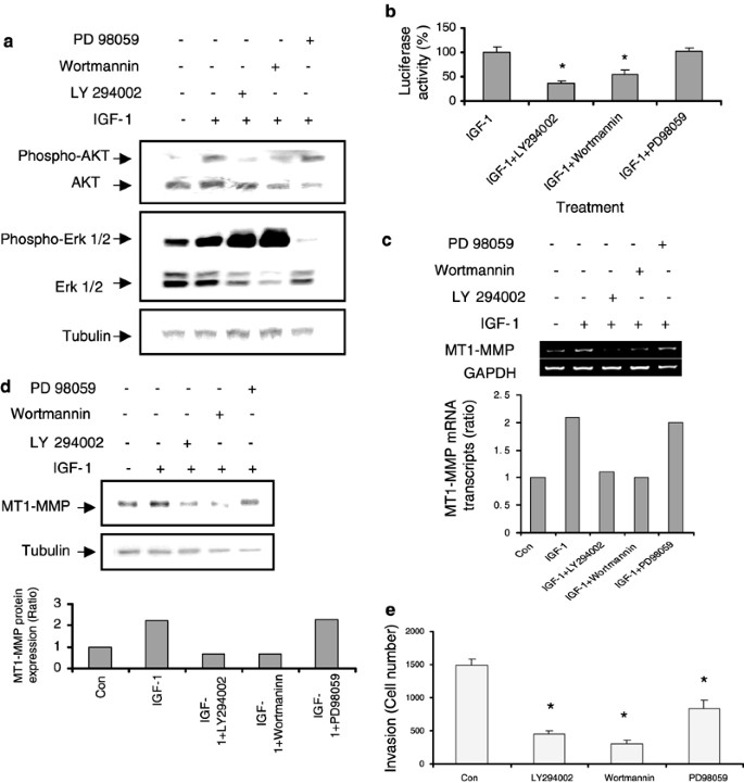 Type 1 insulin-like growth factor regulates MT1-MMP