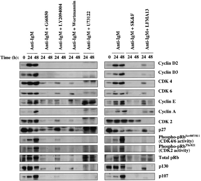 BCR targets cyclin D2 via Btk and the p85 α subunit of PI3-K
