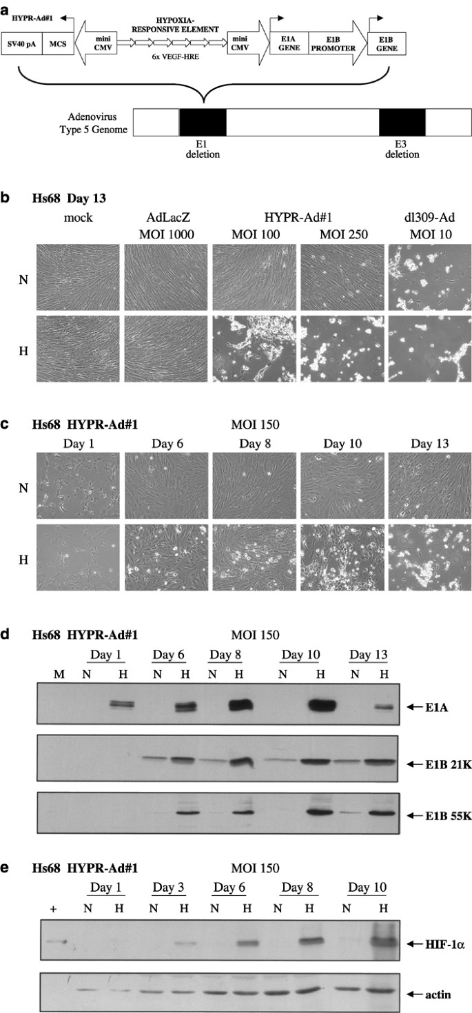 A novel hypoxia-inducible factor (HIF) activated oncolytic