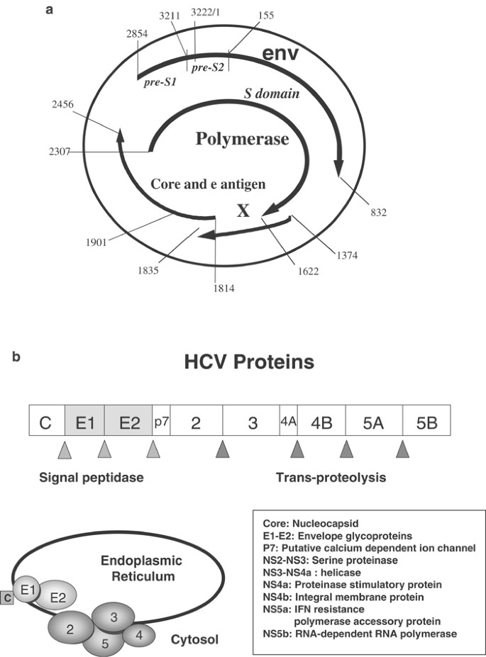 Molecular viral oncology of hepatocellular carcinoma   Oncogene