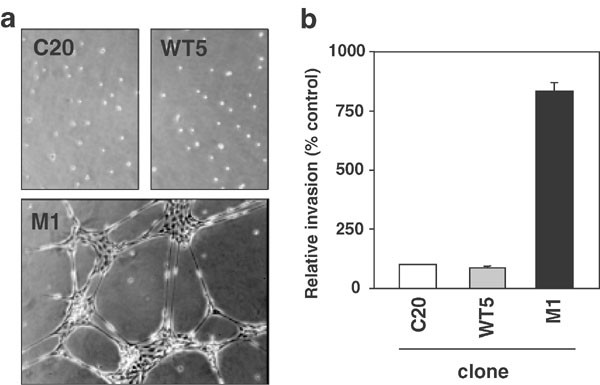 High tumorigenic potential of a constitutively active mutant of the