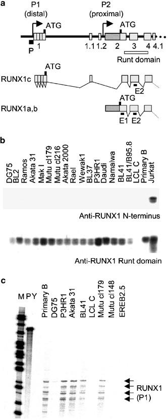 Lcl Raised Panel Door: Transcriptional Cross-regulation Of RUNX1 By RUNX3 In
