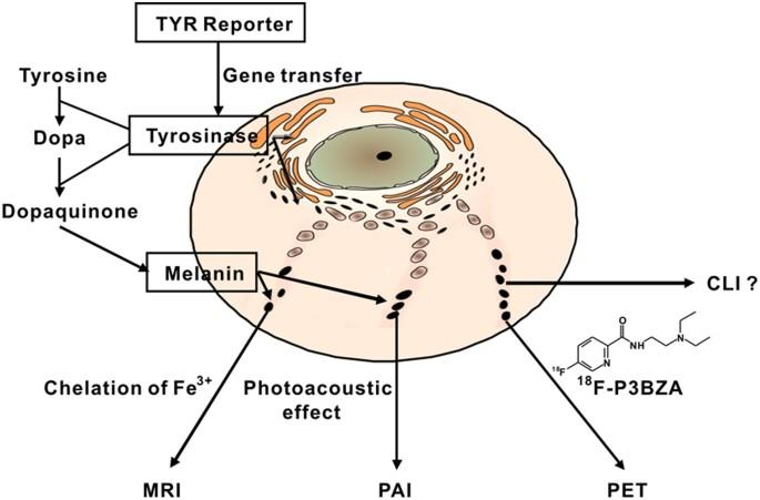 Switch between tyrosinase and catecholoxidase activity of scorpion ... | 451x685