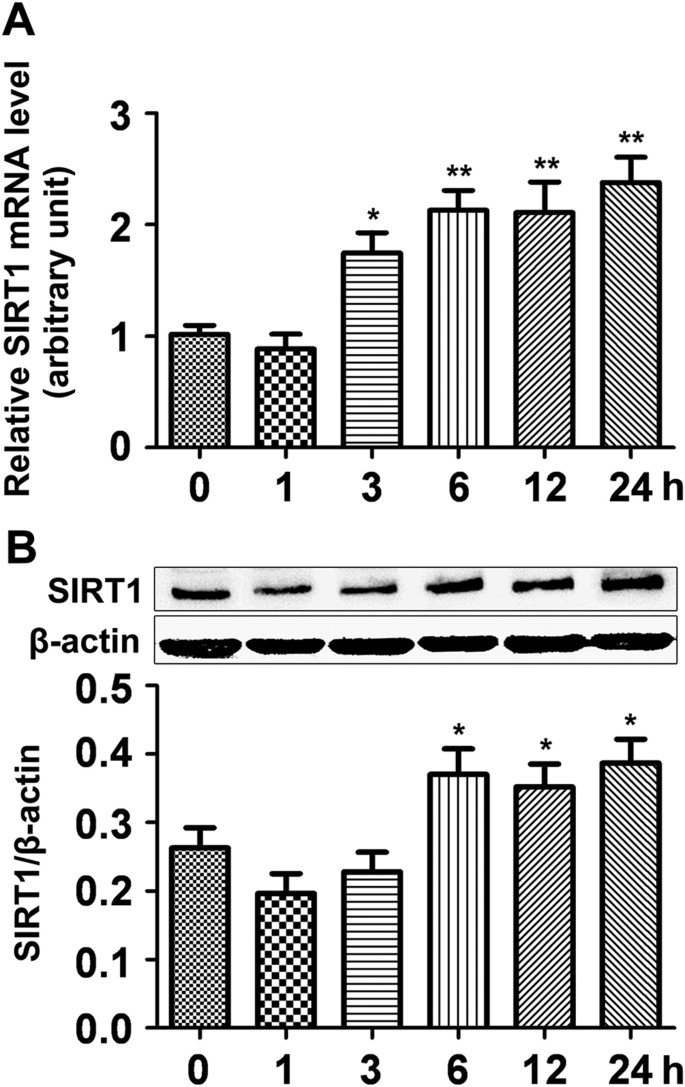 Sirt1 Protects Rat Lung Tissue Against Severe Burn Induced Remote Ali By Attenuating The Apoptosis Of Pmvecs Via P38 Mapk Signaling Scientific Reports