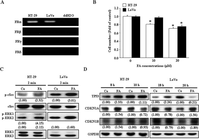 Folic Acid Inhibits Colo 205 Colon Cancer Cell Proliferation Through Activating The Fra C Src Erk1 2 Nfkb Tp53 Pathway In Vitro And In Vivo Studies Scientific Reports