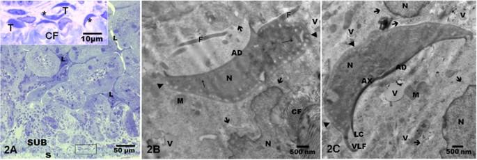 giardia muris morfologia