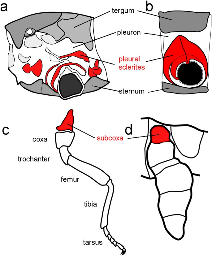 Muscles of the Thigh | ClipArt ETC