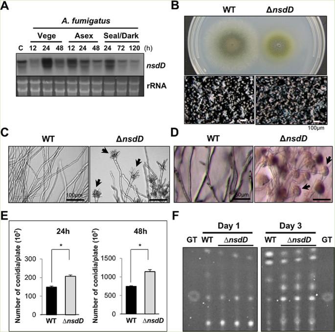 Negative regulation and developmental competence in Aspergillus ...