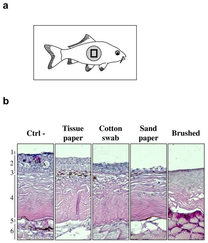 Skin mucus of Cyprinus carpio inhibits cyprinid herpesvirus