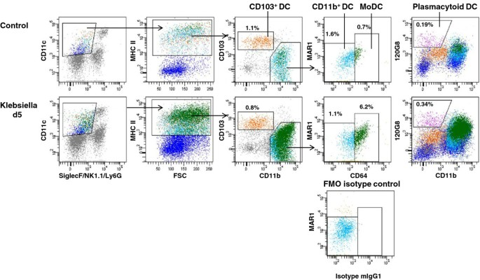 Modulation of respiratory dendritic cells during Klebsiella