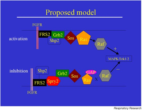 Growth Factor Signaling In Lung Morphogenetic Centers