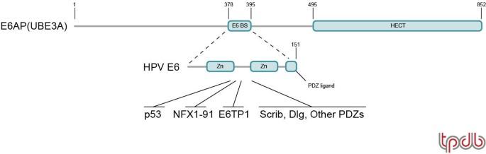 HPV E6, E6AP and cervical cancer | BMC Biochemistry | Full Text