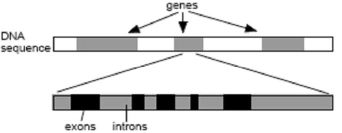 Discrete wavelet transform de-noising in eukaryotic gene