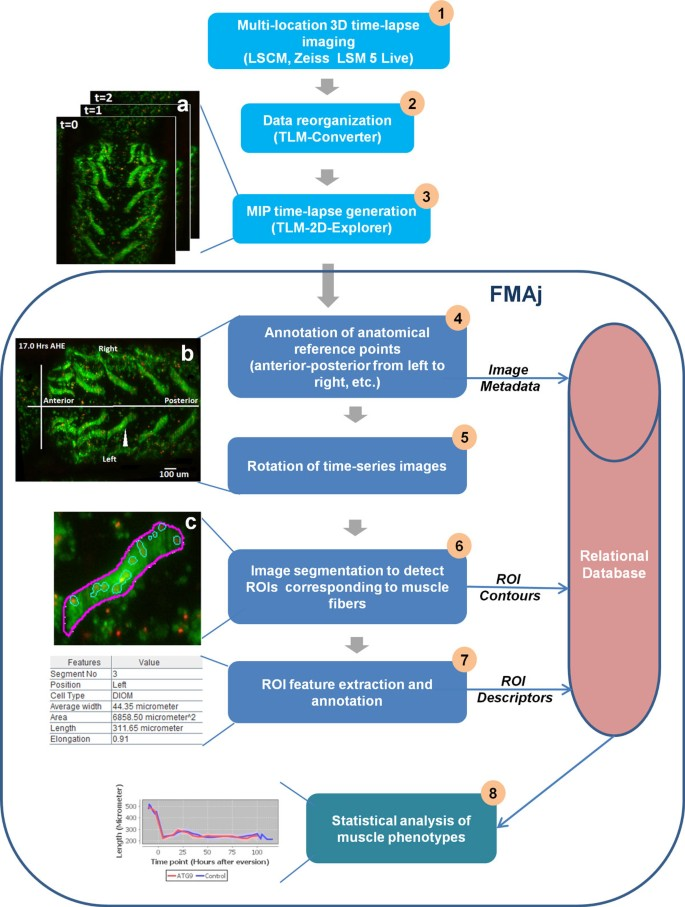 FMAj: a tool for high content analysis of muscle dynamics in