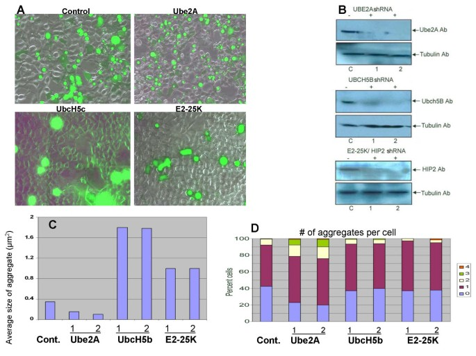 Ubiquitin conjugating enzymes participate in polyglutamine protein ...