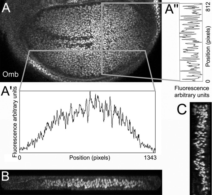Spatial discontinuity of Optomotor-blind expression in the