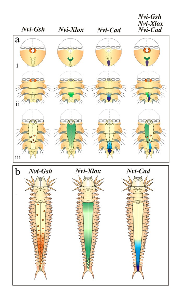 ParaHox gene expression in larval and postlarval development of the