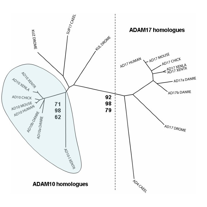 Conservation and divergence of ADAM family proteins in the