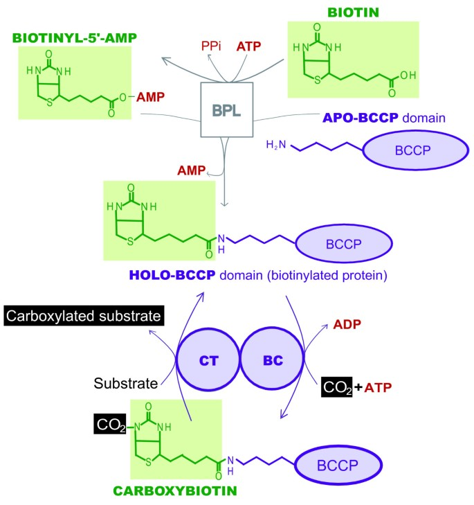 Early evolution of the biotin-dependent carboxylase family