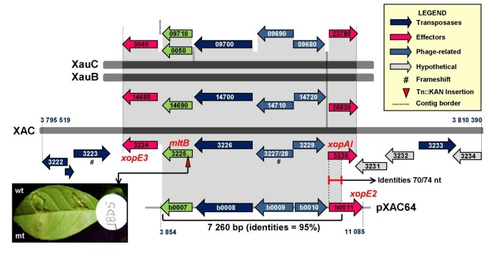 Novel insights into the genomic basis of citrus canker based