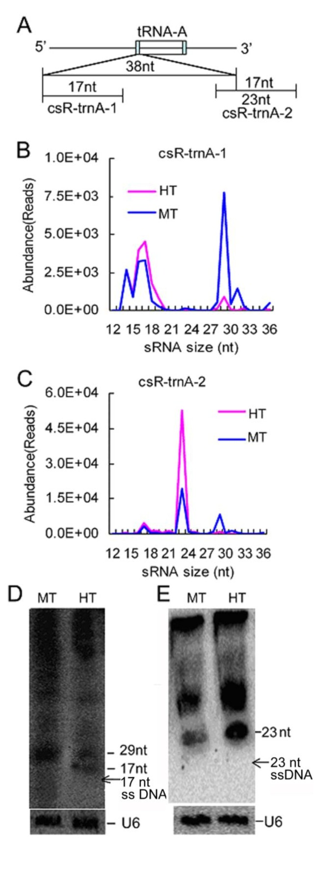 A novel class of heat-responsive small RNAs derived from the