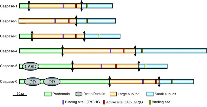 A comprehensive characterization of the caspase gene family