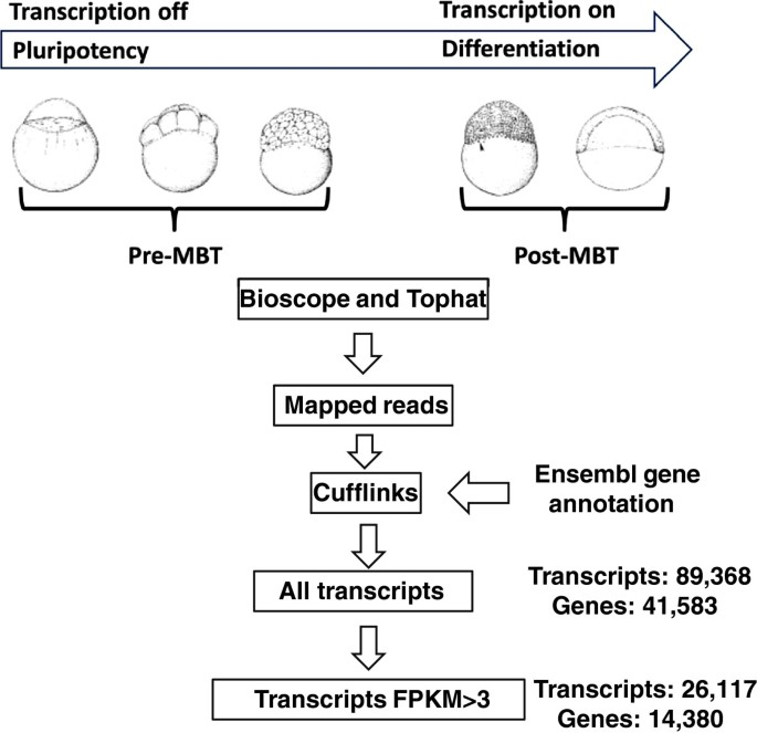 Differential transcript isoform usage pre- and post-zygotic