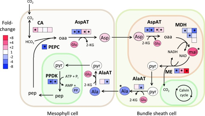 Integrating transcriptional, metabolomic, and physiological