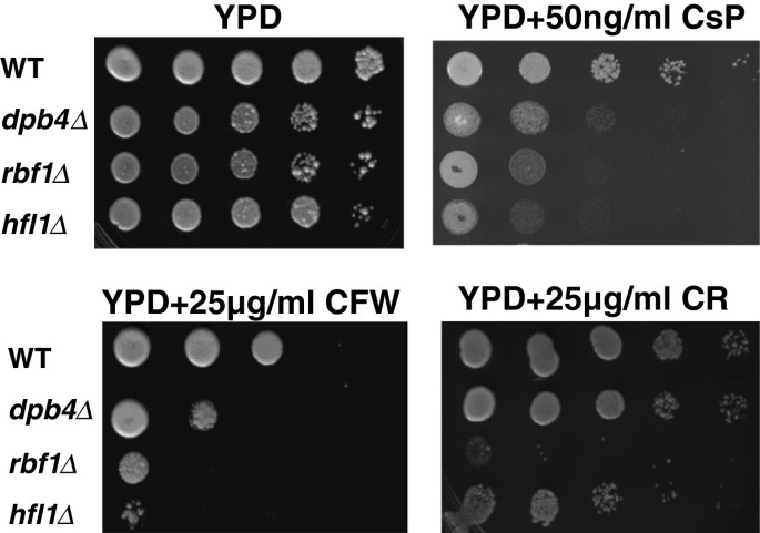 The Rbf1, Hfl1 and Dbp4 of Candida albicans regulate common