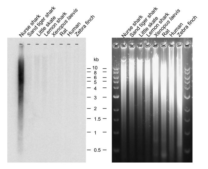 Construction of a nurse shark ( Ginglymostoma cirratum ) bacterial
