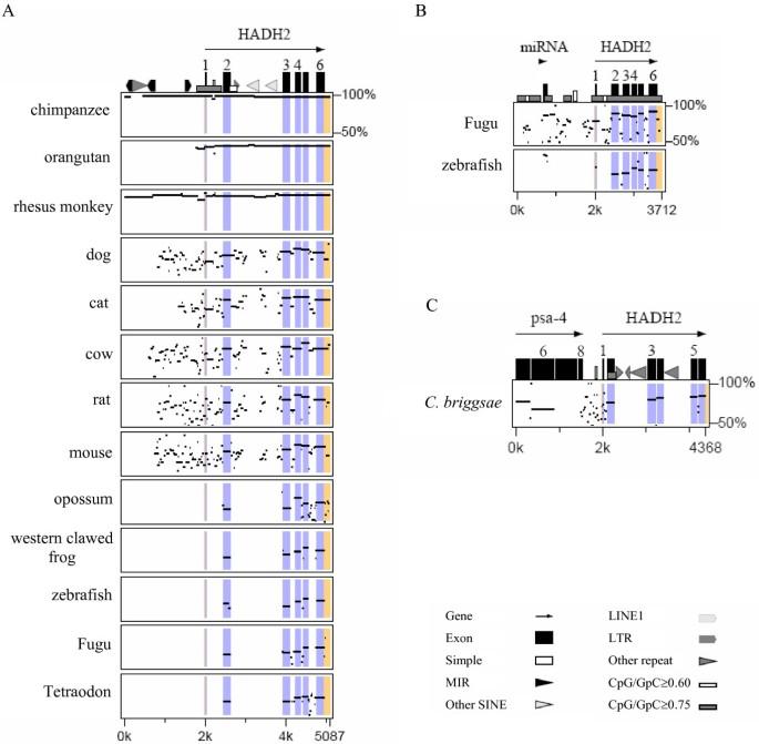 Comparative evolutionary genomics of the HADH2 gene encoding