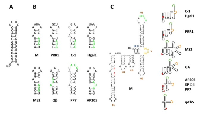 Diversity of pili-specific bacteriophages: genome sequence of IncM