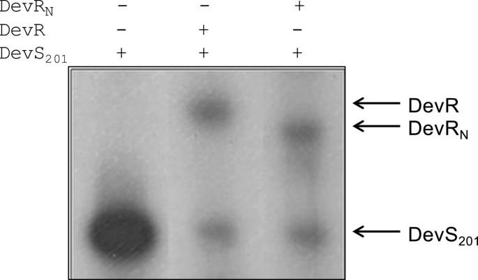 DevR (DosR) mimetic peptides impair transcriptional regulation and