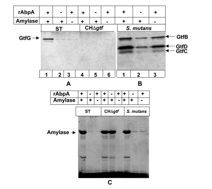 Interaction of Salivary alpha-Amylase and Amylase-Binding