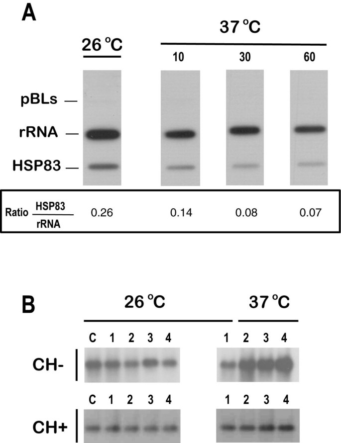 The expression of HSP83 genes in Leishmania infantum is affected ...