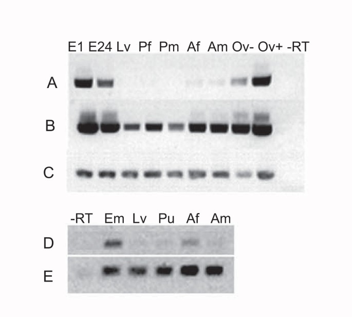Cloning and characterization of cDNAs encoding putative CTCFs in the