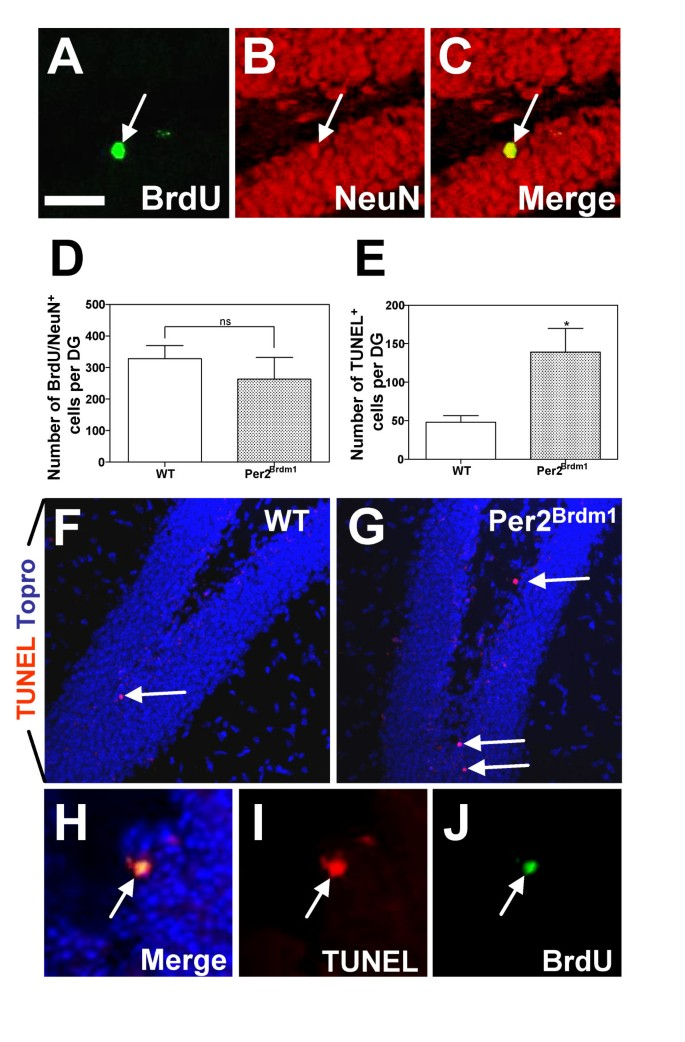 Period 2 regulates neural stem/progenitor cell proliferation