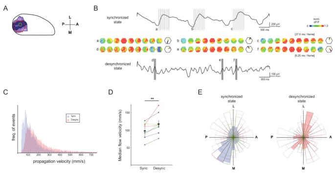 Wave propagation of cortical population activity under