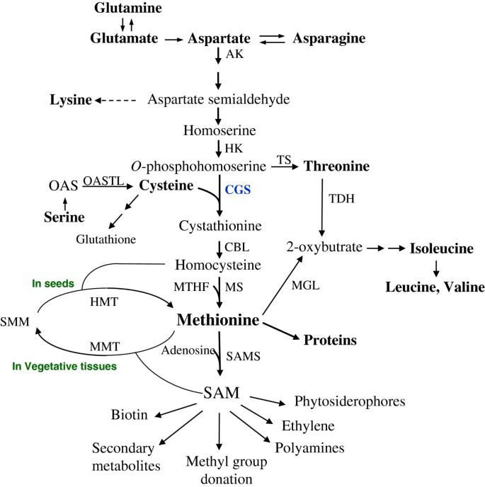 Tobacco seeds expressing feedback-insensitive cystathionine gamma
