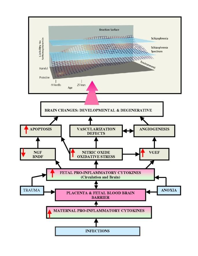 Clues To Autism Schizophrenia Emerge >> Theories Of Schizophrenia A Genetic Inflammatory Vascular Synthesis