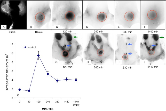 Lymphatic vessel density and function in experimental bladder ...
