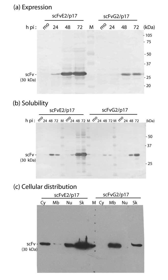 Baculovirus display of single chain antibody (scFv) using a