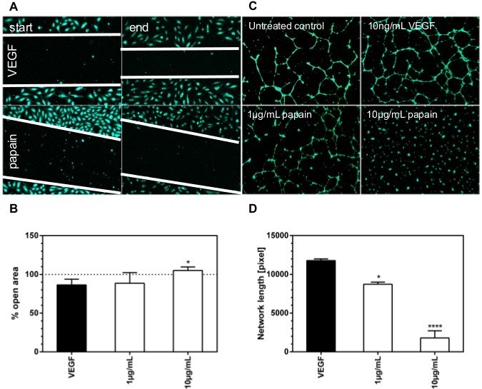 Plant proteolytic enzyme papain abrogates angiogenic